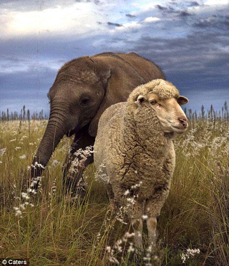Elephant Themba and Sheep Albert