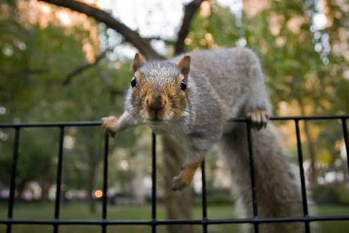Manhattan Squirrel