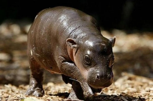 Baby Hippo Monifa Walking