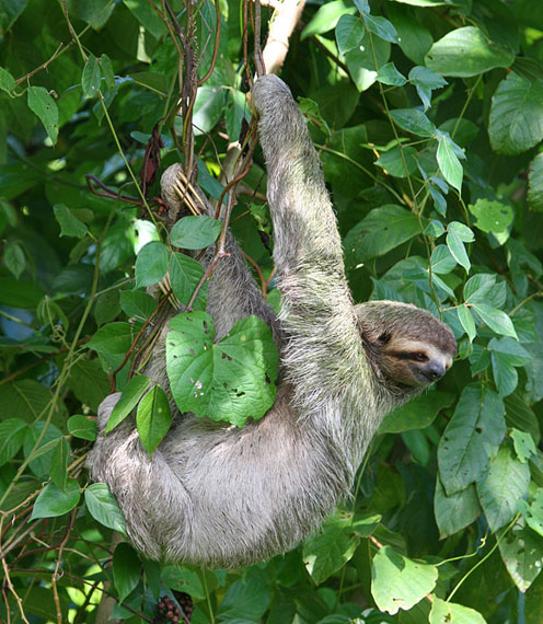 Sloth Hanging on Trees