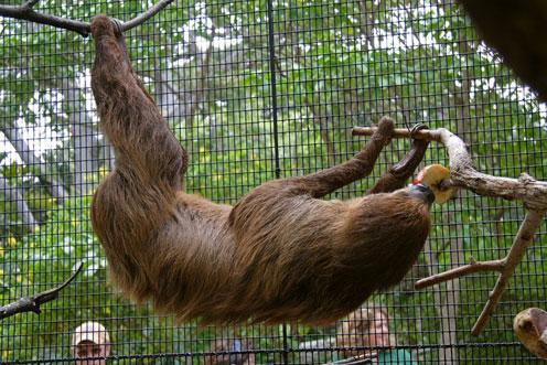 Sloth Hanging Upside Down Sloth Hanging Upside Down