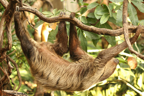 Sloth on Trees