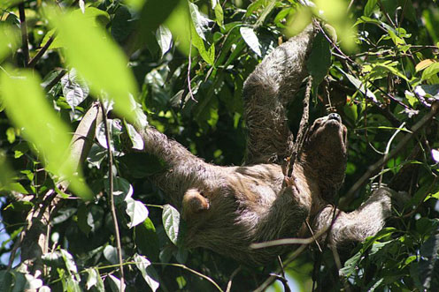 Sloth Somewhere in Tree Branches