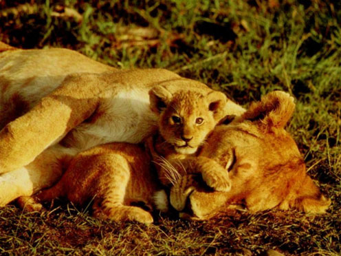 Lion Mom and Lion Son