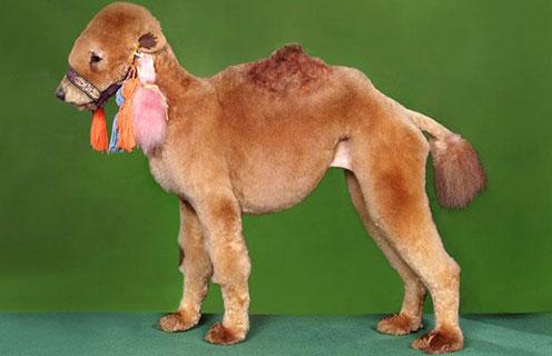 Camel Cindy