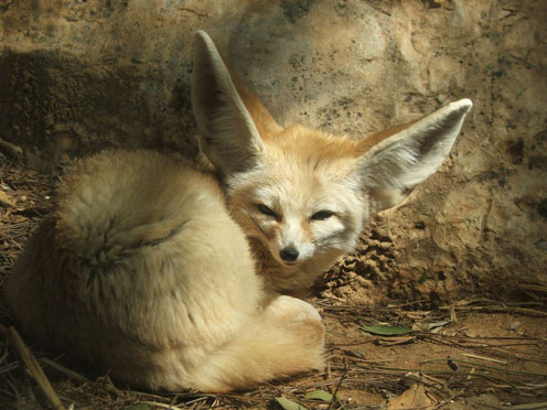 Sly Fennec Fox
