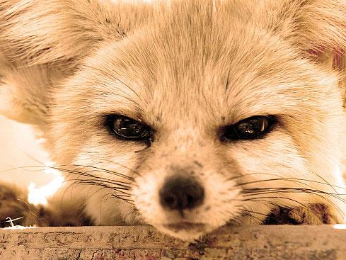 Angry Fennec Fox