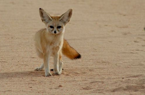 Fennec Fox in the Desert