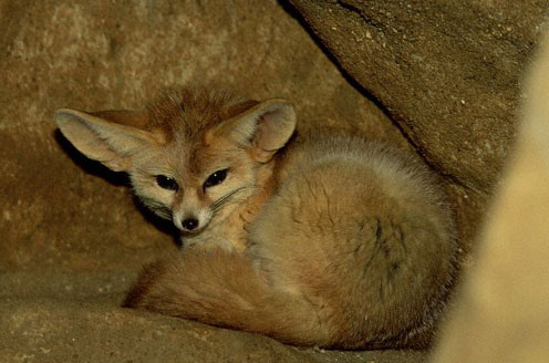 Fennec Fox in a Burrow