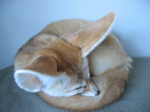 Domestic Fennec Fox