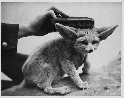 Black-and-White Fennec Fox Picture