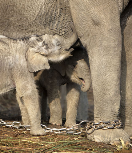 Elephant Twins with Mum