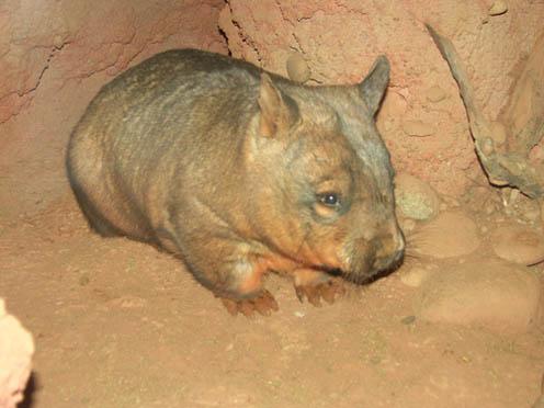 Tiny Wombat