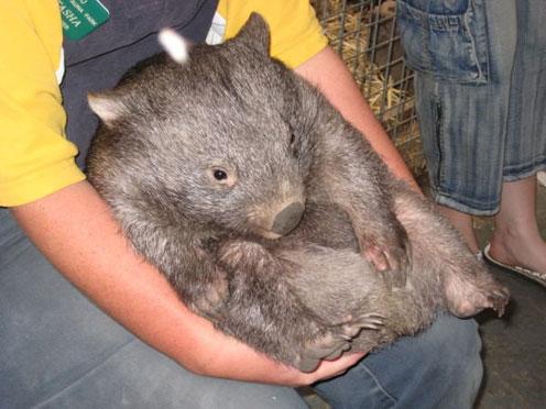 Shy Wombat