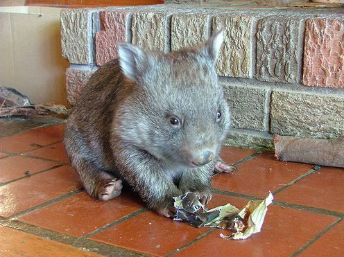 Wombat Pup Eating