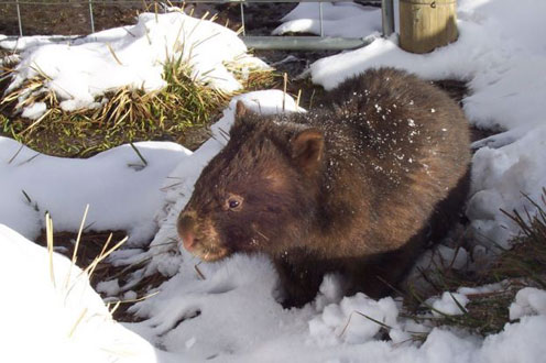 Wombat in Winter