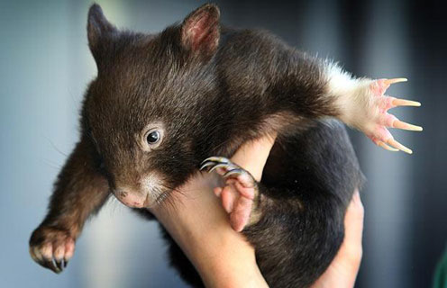 Wombat Paw Paw