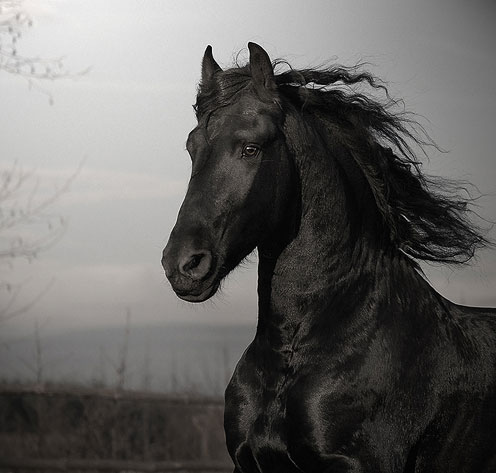 Black Horse Running Beautifully