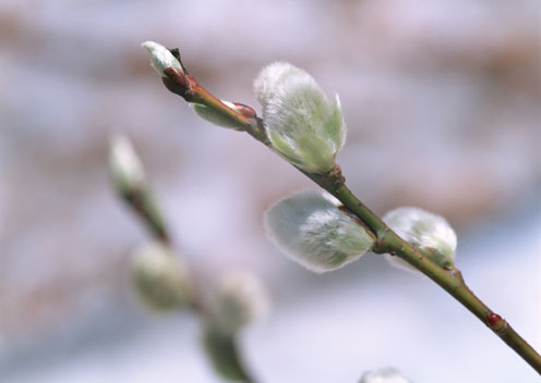 Leaf Buds in Spring