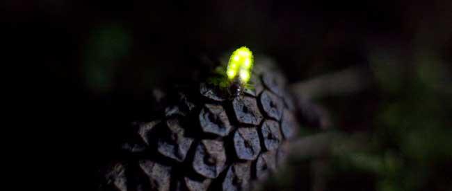 fireflies-0606