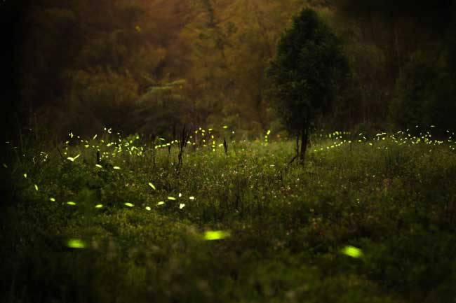 Tsuneaki Hiramatsu Takes Pictures Of The Fireflies After A Thunderstorm During Rainy Season He Also Uses Long Exposure And Increased