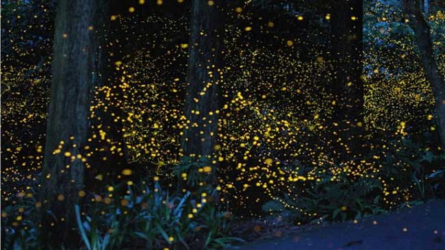 fireflies-77