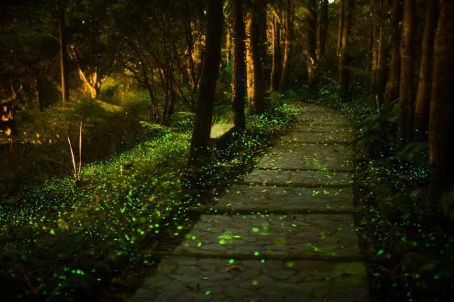 fireflies-8