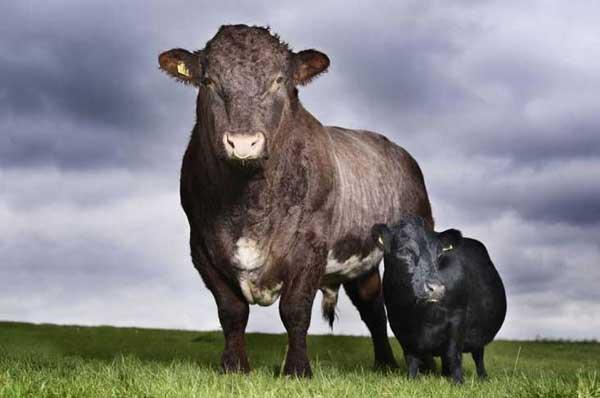 1-cow