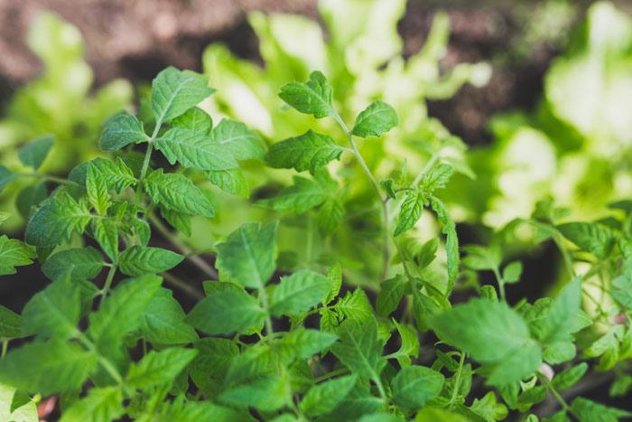 700-herbs-tomato-plants